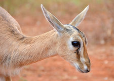 Gulligt behandla som ett barn den Head closeupen för antilop Arkivfoton