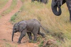 Gulligt behandla som ett barn elefanten som går till och med ett fält i den Kruger nationalparken Arkivbilder