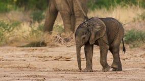 Gulligt behandla som ett barn elefantkalven i denna ståendebild från Sydafrika royaltyfri fotografi