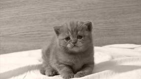 Gulligt behandla som ett barn kattungen som jamar, närbildsikt arkivfilmer