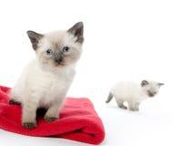 Gulligt behandla som ett barn kattungen på den röda filten Arkivfoton