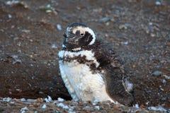 Gulligt behandla som ett barn pingvinet i Magdalena Island Arkivfoto