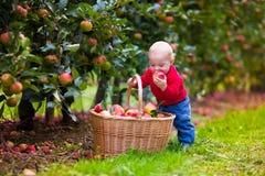 Gulligt behandla som ett barn pojken som väljer nya äpplen från träd Arkivfoto
