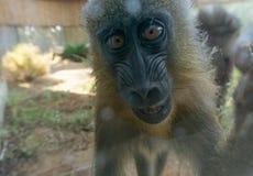 Gulligt behandla som ett barn schimpansnärbilden Arkivbilder