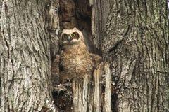 Gulligt behandla som ett barn stora Horned Owl In Old Tree Royaltyfria Bilder