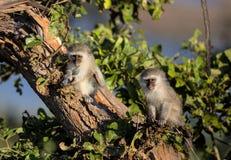 Gulligt behandla som ett barn Vervet apor i den Kruger nationalparken Arkivbilder