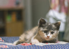 Gulligt blandat thailändskt för kattungar på blått tyg Royaltyfria Bilder