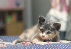 Gulligt blandat thailändskt för kattungar på blått tyg Arkivbild