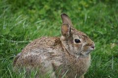 Gulligt brunt kaninsammanträde i det gröna gräset Fotografering för Bildbyråer