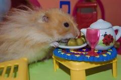 Gulligt fluffigt t?nder - den bruna hamstern ?ter ?rtor p? tabellen i hans hus N?rbildhusdjuret ?ter royaltyfria bilder