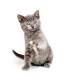 gulligt grått leka för kattunge Fotografering för Bildbyråer
