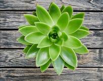 Gulligt grönt suckulent växtslut för bästa sikt upp på trätabellbakgrund arkivbild