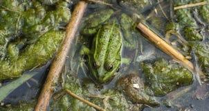 Gulligt grodasammanträde på smutsiga alger, som reflekterar på betydelsen av liv Royaltyfria Foton