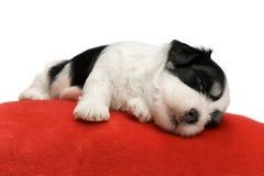gulligt havanese sova för valp Arkivfoton