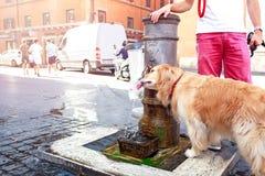 Gulligt hunddrinkvatten från en springbrunn i Rome, Italien royaltyfri bild