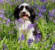 gulligt hundfält för blåklockor arkivfoton