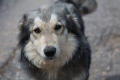 Gulligt hundhuvud för blandad avel Arkivfoton