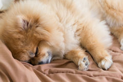 Gulligt husdjur i huset, pomeranian hund som sover på sängen Fotografering för Bildbyråer