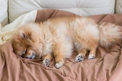 Gulligt husdjur i huset, pomeranian hund som sover på sängen Arkivfoto