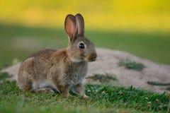 Gulligt kaninsammanträde i en äng Fotografering för Bildbyråer