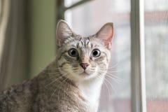 Gulligt kattslut som upp ut ser fönstret Arkivbilder