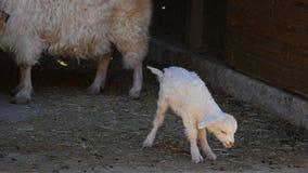 Gulligt lamm i lantgård stock video