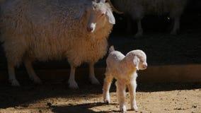 Gulligt lamm i lantgård arkivfilmer