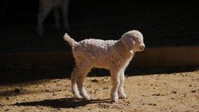 Gulligt lamm i lantgård lager videofilmer