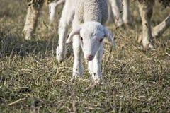 Gulligt lamm i samer Royaltyfria Bilder