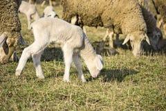 Gulligt lamm i sommar 2 Arkivbilder