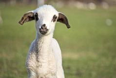 Gulligt lamm i sommar 3 Royaltyfri Fotografi
