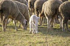 Gulligt lamm i sommar 5 Arkivfoto