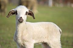 Gulligt lamm i sommar 4 Royaltyfria Bilder