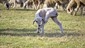 Gulligt lamm i sommar 7 Royaltyfri Foto