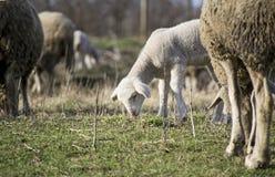 Gulligt lamm i sommar 8 Arkivbilder