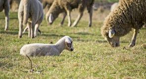 Gulligt lamm i sommar 9 Arkivfoto