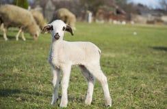 Gulligt lamm i sommar 13 Arkivfoton