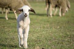 Gulligt lamm i sommar 12 Royaltyfria Bilder