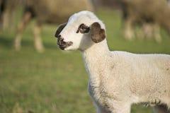 Gulligt lamm i summer14 Royaltyfria Bilder