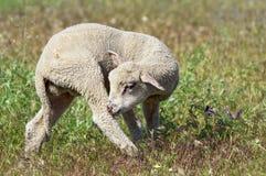 Gulligt lamm på ängen Royaltyfri Foto
