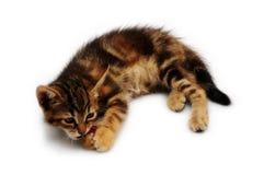 Gulligt leka för kattunge Royaltyfri Fotografi