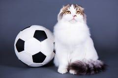 Gulligt litet brittiskt kattsammanträde med fotbollbollen över grå färger Royaltyfri Bild