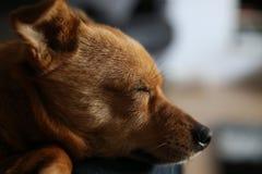 Gulligt litet jackaranian sova för hund Fotografering för Bildbyråer