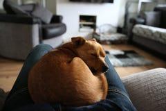 Gulligt litet jackaranian sova för hund royaltyfri fotografi