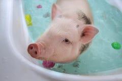 Gulligt litet piggy sväva i blått vatten royaltyfri bild