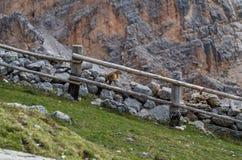 Gulligt murmeldjursammanträde på en vägg i dolomitesna, Italien arkivbilder