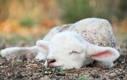 Gulligt nyfött behandla som ett barn lammet som sover i fält på landslantgård Arkivfoto