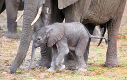 Gulligt nyfött elefantkalvanseende bredvid mumen för skydd och komfort royaltyfria foton