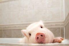 Gulligt piggy i badrummet royaltyfri foto