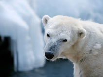 gulligt polart för björn royaltyfri bild